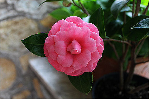Camelie for Camelia japonica in vaso